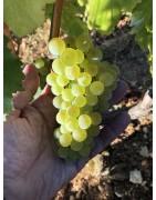 Chardonnay, Vincent Latour